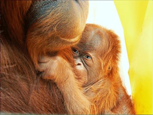 orangutan assisted reproduction