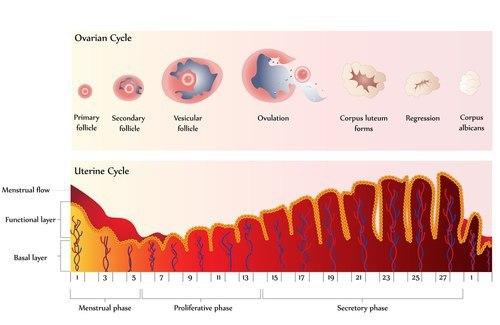 ovarian cycle chart for fertility program FAQs